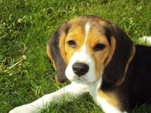 Alergia u psa - beagle
